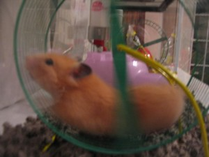 Hamster, hamster wheel, hectic, rat race, choose now ministries