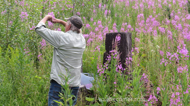 fireweed, foraging for fireweed, picking fireweed, forage