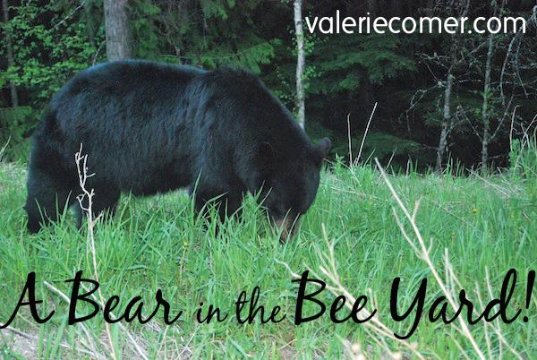 bear in the bee yard, bee yard, bear, black bear, beekeeping