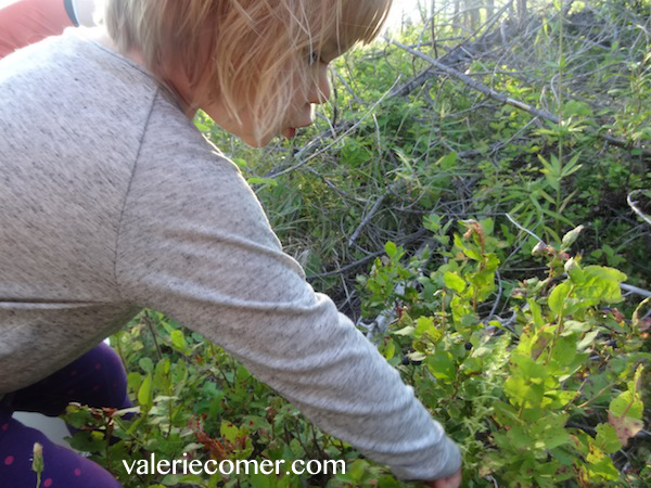 huckleberries, huckleberry picking