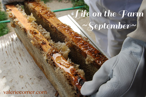 Farming, beekeeping, September