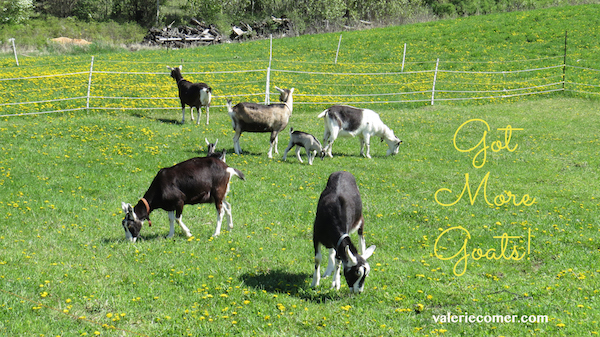 goat, urban farm fresh romance, secrets of sunbeams