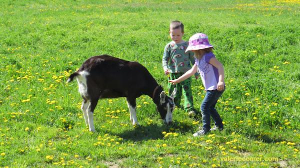 goat, secrets of sunbeams, urban farm fresh romance
